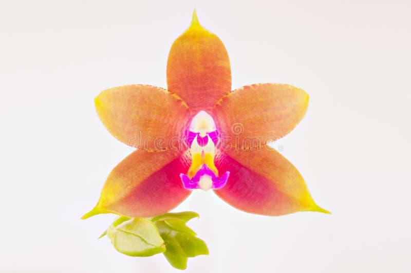 Mooie zeldzame orchidee in pot op witte achtergrond royalty-vrije stock afbeelding