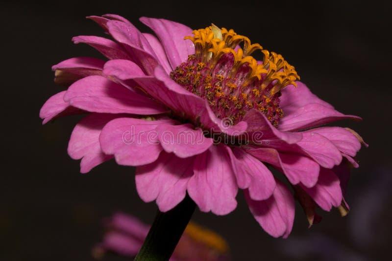 Mooie Zinnia met magenta bloemblaadjes groeit op een de lenteweide Zinnia elegans Sluit omhoog royalty-vrije stock afbeeldingen