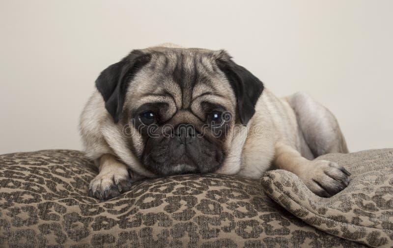 Mooie zoete pug puppyhond, die op kussens liggen, stock afbeelding