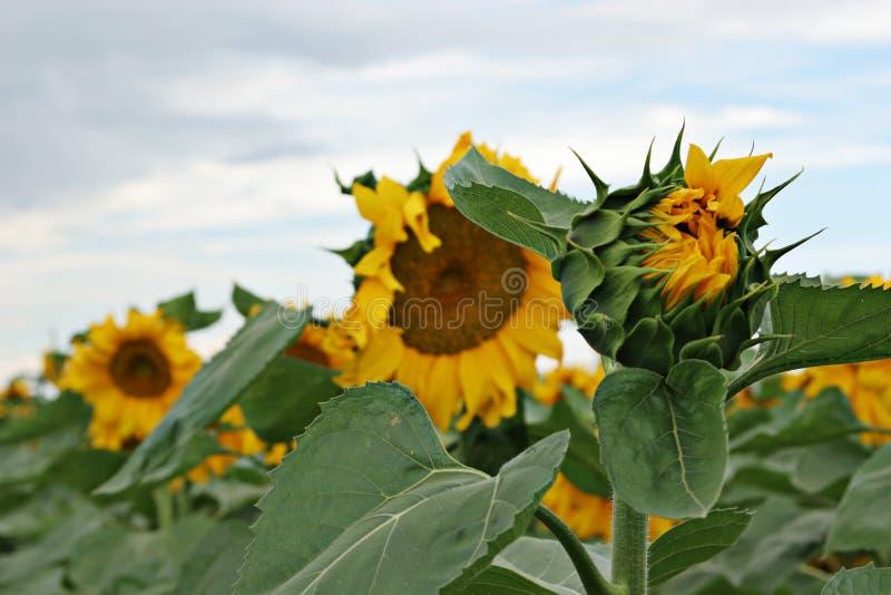 Mooie zonbloemen stock afbeeldingen