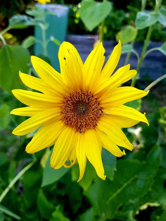 Mooie Zonnebloem heldere gele bloemblaadjes Zonnebloemclose-up royalty-vrije stock fotografie