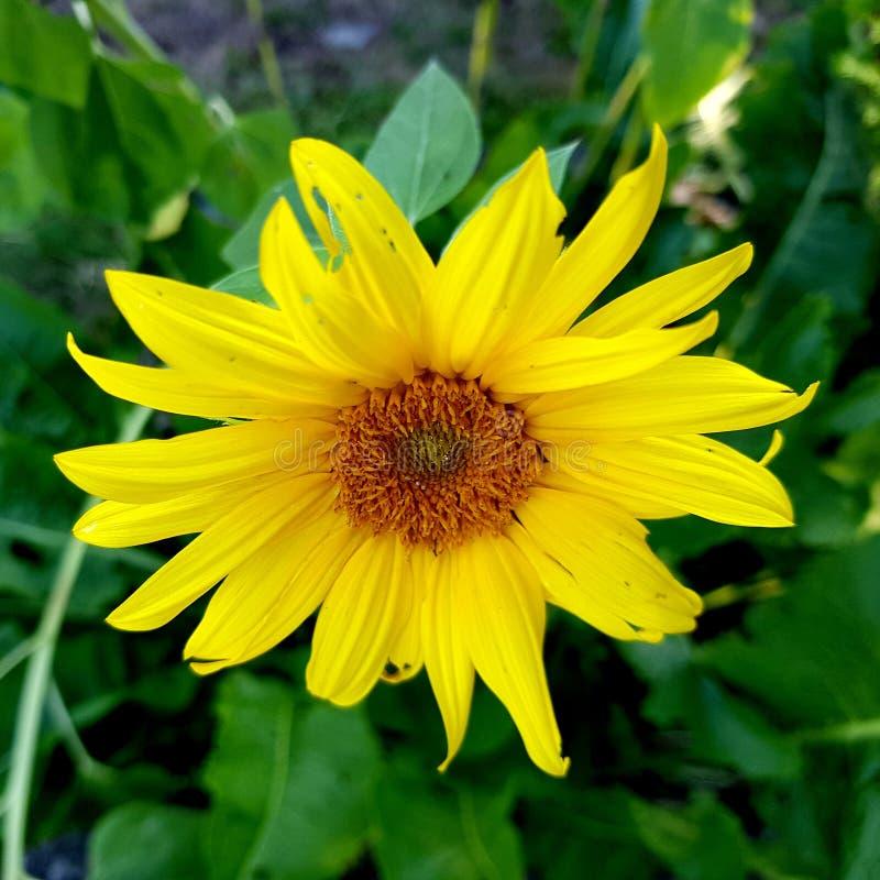 Mooie Zonnebloem heldere gele bloemblaadjes Zonnebloemclose-up stock afbeeldingen
