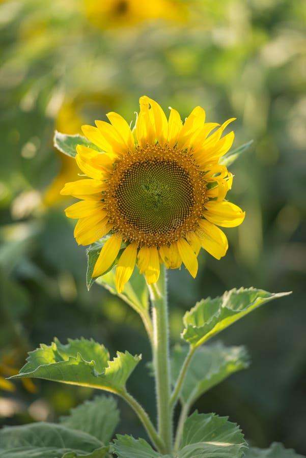Mooie zonnebloem op het gebied bij zonnige dag stock afbeelding