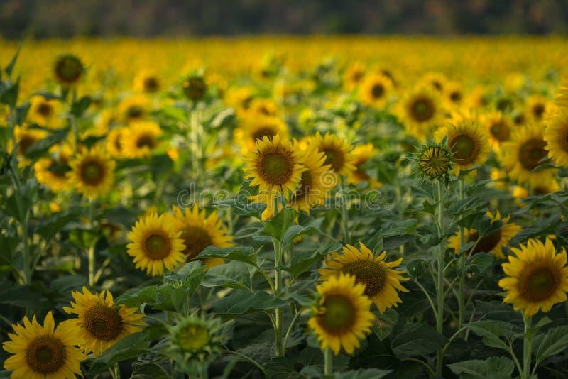Mooie zonnebloem op het gebied bij zonnige dag stock foto's