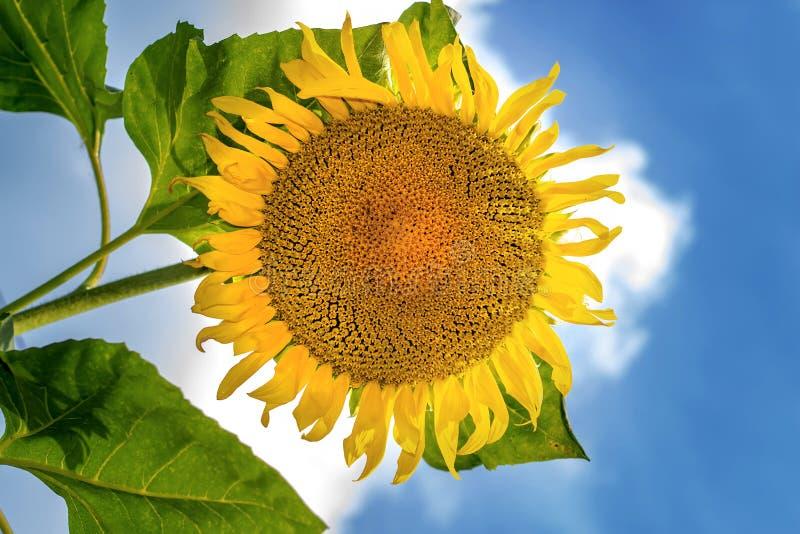 Mooie zonnebloem tegen blauwe hemel De zomerachtergrond stock foto's