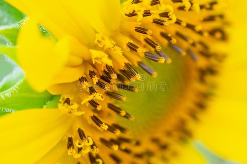 Mooie zonnebloemclose-up in de tuin royalty-vrije stock afbeelding