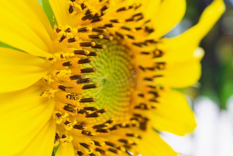 Mooie zonnebloemclose-up in de tuin royalty-vrije stock fotografie