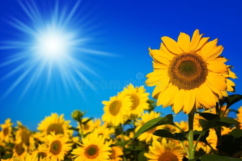 Mooie zonnebloemen royalty-vrije stock fotografie