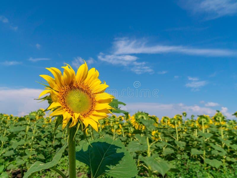 Mooie zonnebloemen op de gebieds natuurlijke achtergrond, Zonnebloem het bloeien stock afbeeldingen