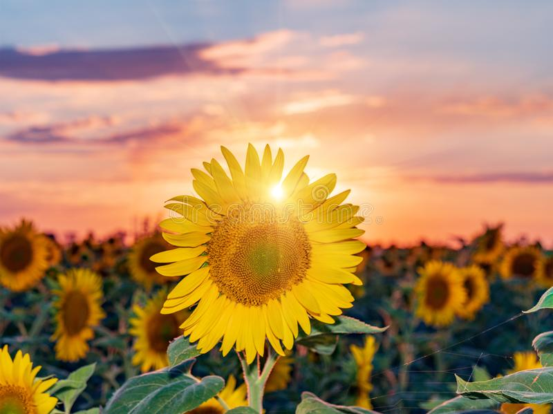 Mooie zonnebloemen op de gebieds natuurlijke achtergrond, Zonnebloem het bloeien stock foto's