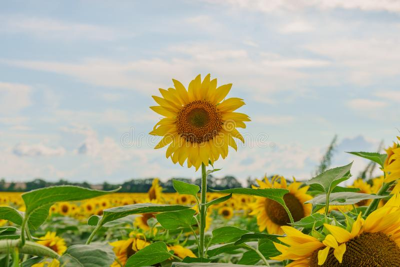 Mooie zonnebloemen op de gebieds natuurlijke achtergrond, Zonnebloem het bloeien royalty-vrije stock foto's