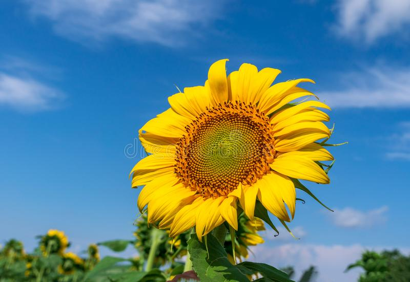 Mooie zonnebloemen op de gebieds natuurlijke achtergrond, Zonnebloem het bloeien stock fotografie