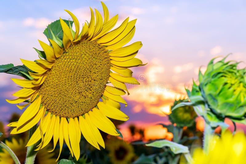 Mooie zonnebloemen op de gebieds natuurlijke achtergrond, Zonnebloem het bloeien royalty-vrije stock afbeeldingen