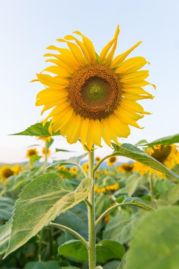 Mooie zonnebloemen op het gebied stock foto's