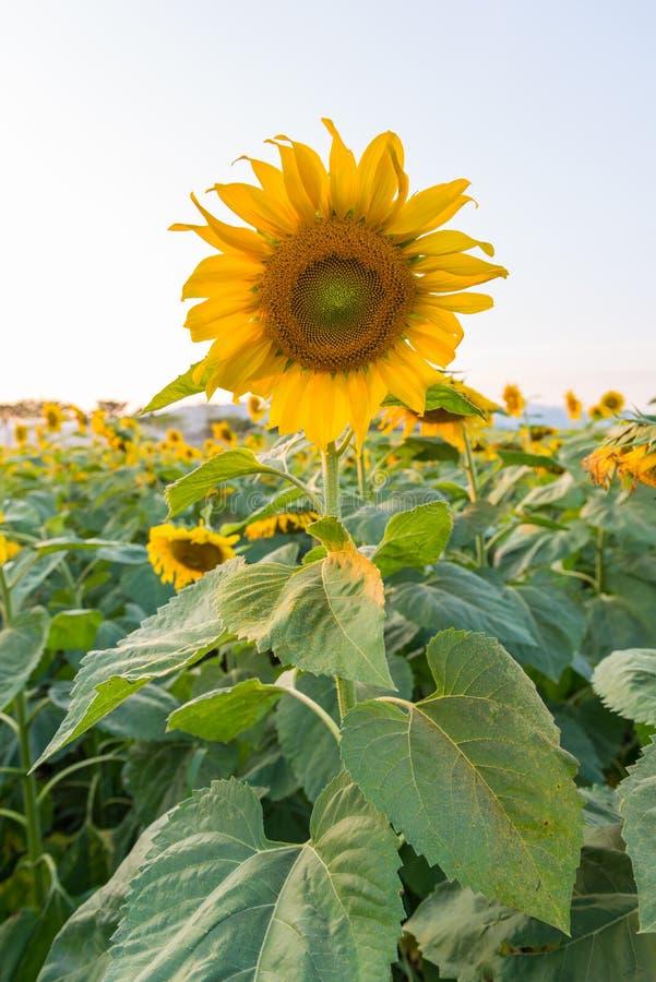 Mooie zonnebloemen op het gebied royalty-vrije stock foto's