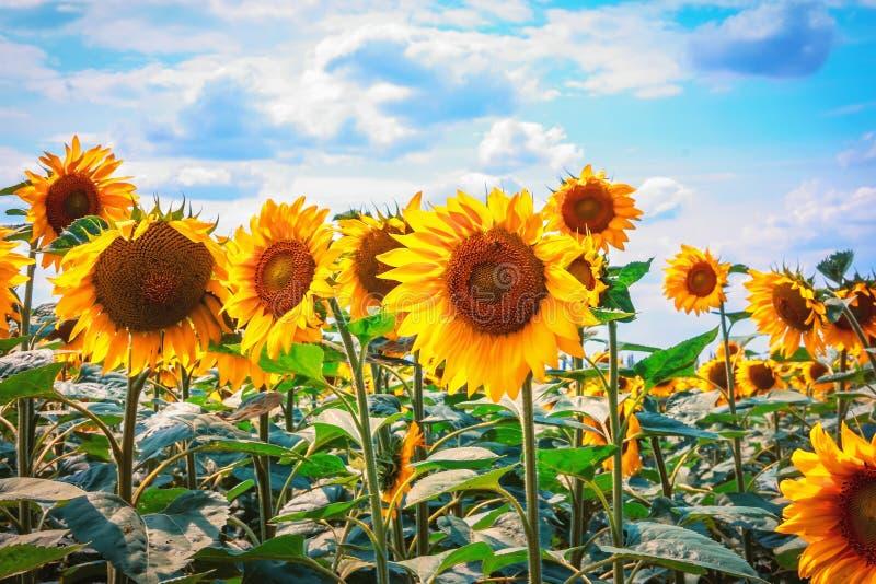 Mooie zonnebloemen tegen de blauwe hemel Heldere gele bloem royalty-vrije stock foto's