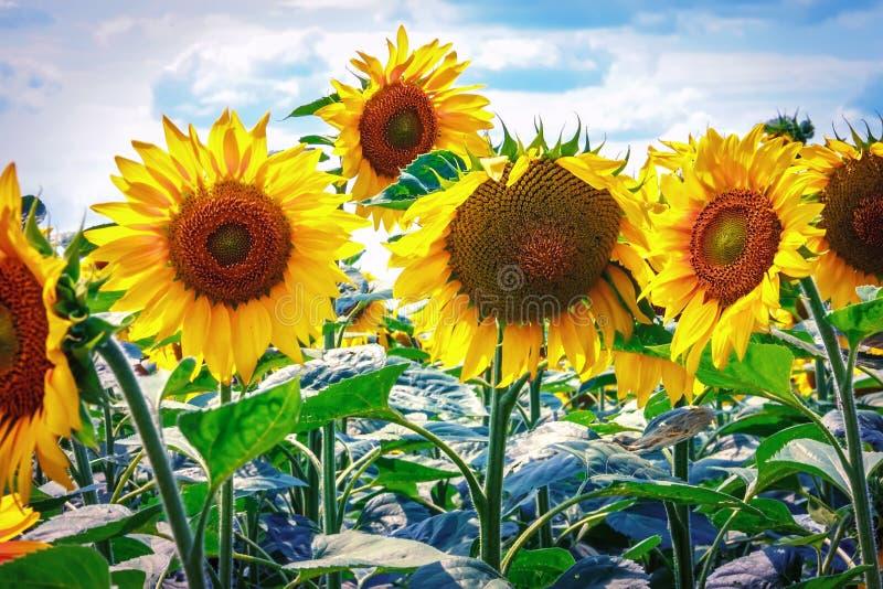 Mooie zonnebloemen tegen de blauwe hemel Heldere gele bloem royalty-vrije stock afbeelding