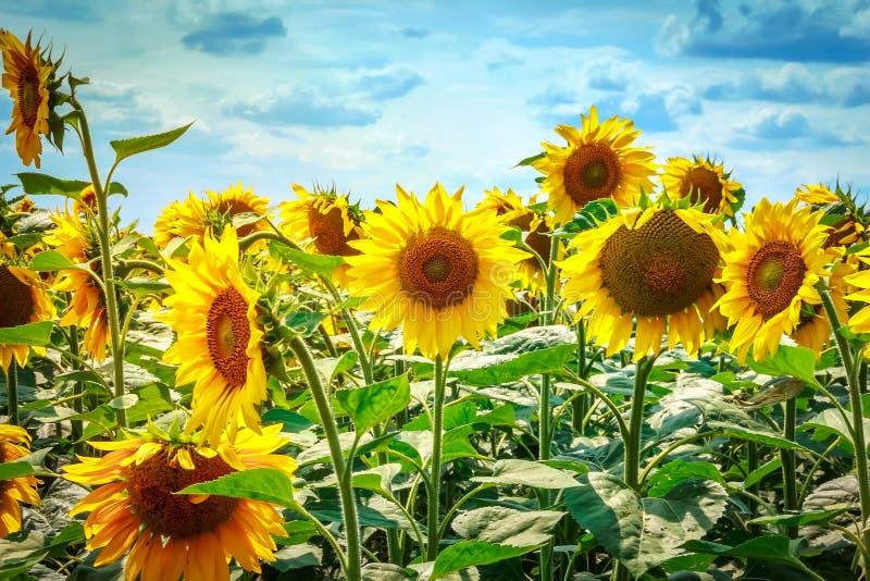 Mooie zonnebloemen tegen de blauwe hemel Heldere gele bloem stock foto