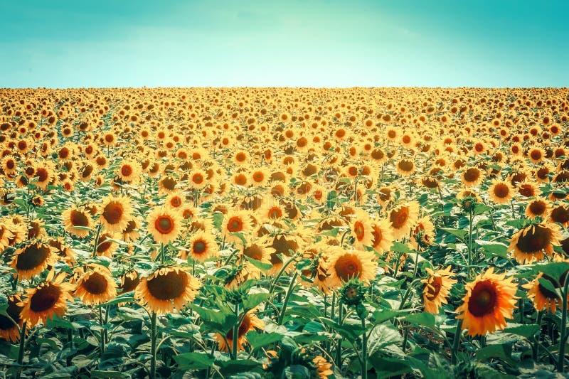 Mooie zonnebloemen tegen de blauwe hemel Heldere gele bloem stock afbeeldingen