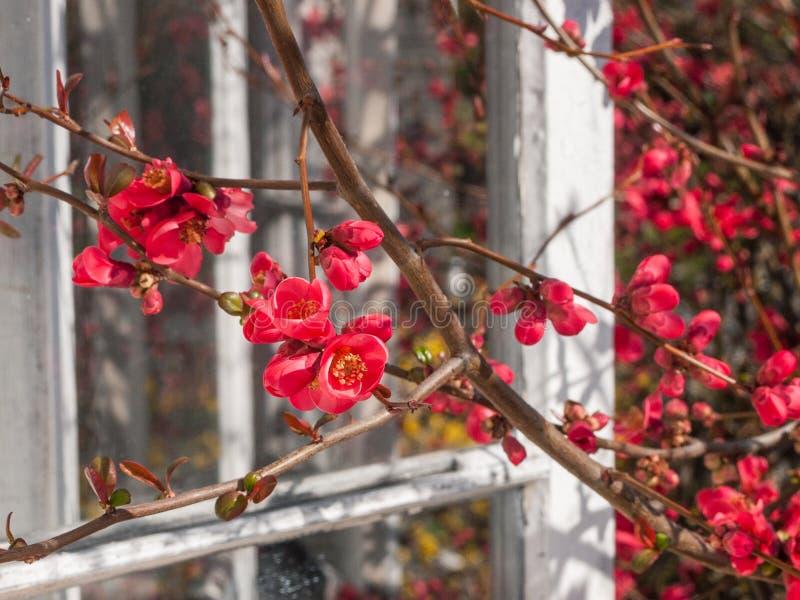 Mooie zonovergoten bloeiende roze Kweepeerbloesems in de Lente royalty-vrije stock afbeeldingen