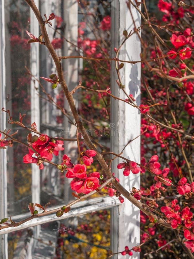 Mooie zonovergoten bloeiende roze Kweepeerbloesems in de Lente royalty-vrije stock afbeelding