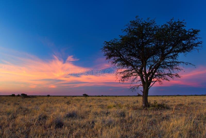 Mooie zonsondergang in Kalahari met dode boom royalty-vrije stock foto's