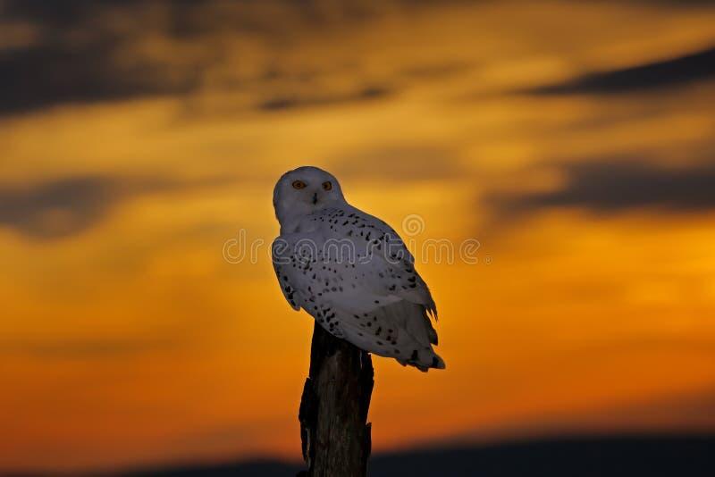 Mooie zonsonderganghemel met vliegende uil Sneeuwuil, Nyctea-scandiaca, zeldzame vogelzitting op de boomboomstam stock foto's