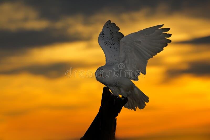 Mooie zonsonderganghemel met vliegende uil Sneeuwuil, Nyctea-scandiaca, zeldzame vogelzitting op de boomboomstam Oranje hemel met royalty-vrije stock foto's