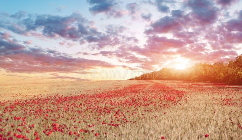 Mooie zonsondergangscène, rood papavergebied op een zonsondergangachtergrond stock afbeeldingen