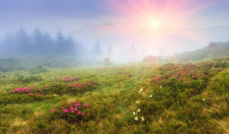 Mooie zonsopgang in de de lentebergen Mening van heuvels, met verse bloesem wordt behandeld die rododendrons stock fotografie