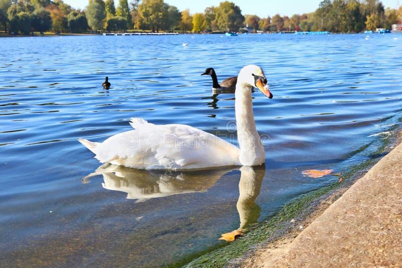 Mooie zwaan binnen het meer van het Hyde-park Londen stock foto's