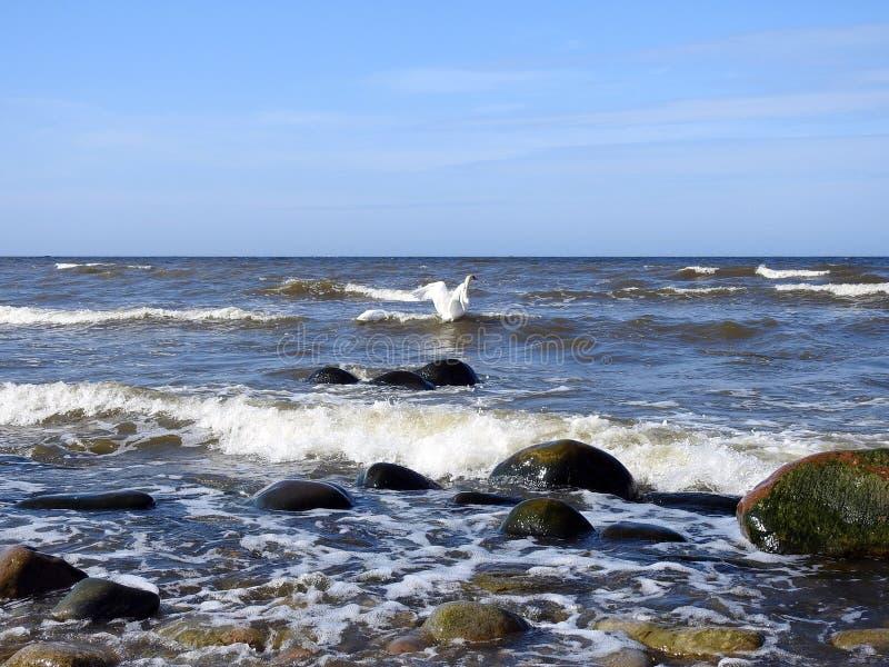 Mooie zwaan die op water, Litouwen drijven royalty-vrije stock fotografie