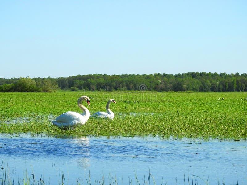 Mooie zwaanvogels op vloedgebied, Litouwen royalty-vrije stock foto's