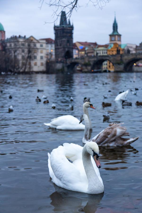 Mooie zwanen op de Vltava-Rivier in Praag, Tsjechische Republiek royalty-vrije stock foto