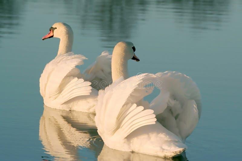 Mooie zwanen op een meer bij zonsondergang stock afbeeldingen