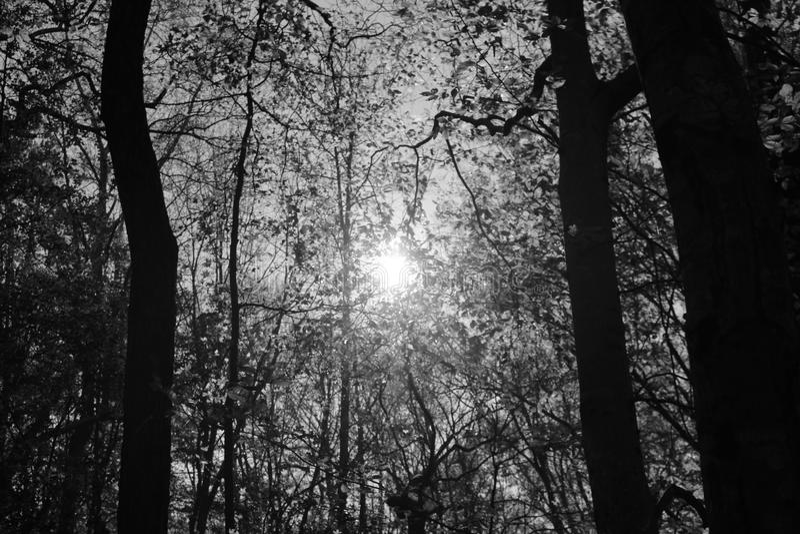Mooie zwart-wit ochtendzonsopgang in bos stock afbeeldingen