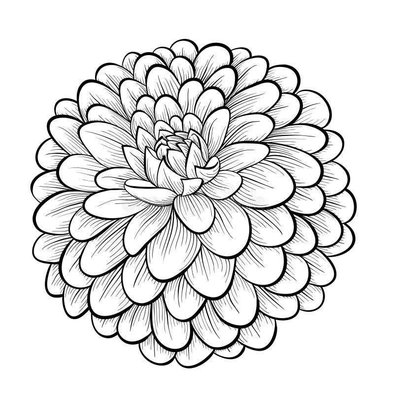 Mooie zwart-wit zwart-witte die dahliabloem op witte achtergrond wordt geïsoleerd royalty-vrije illustratie