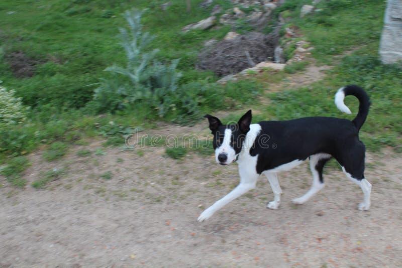 Mooie zwart-witte hond die met mensen zeer hartelijk is stock foto's