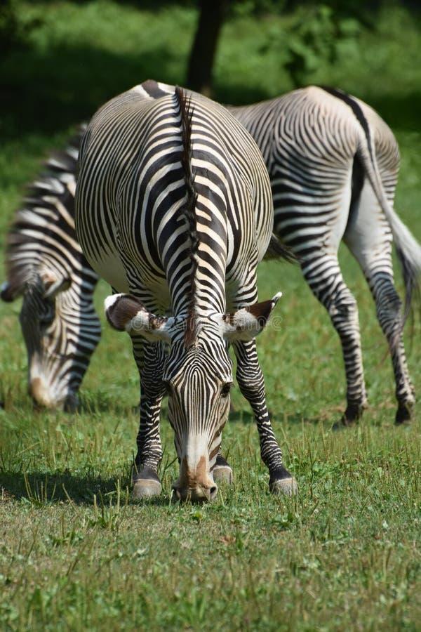 Mooie zwart-witte zebras die op een gebied weiden stock foto