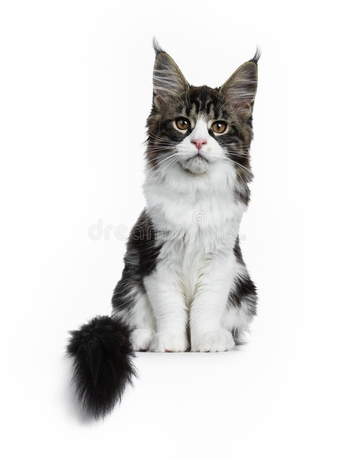Mooie zwarte bruine gestreepte kat met de witte Maine Coon-zitting van het kattenkatje rechtstreeks met staart naast lichaam, die royalty-vrije stock fotografie