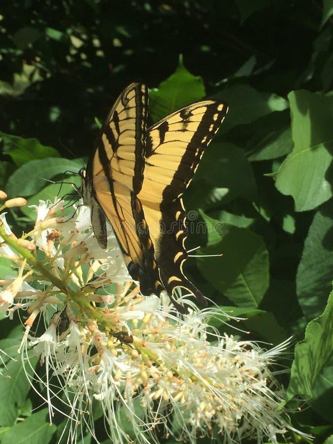 Mooie zwarte en gele vlinder op witte installatie stock foto