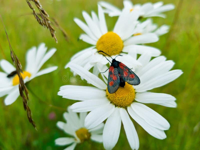 Mooie zwarte en rode filipendulae die van vlinderzygaena op grote heldere witte en gele Daisy zitten De zomer foto-bloeit stock foto's