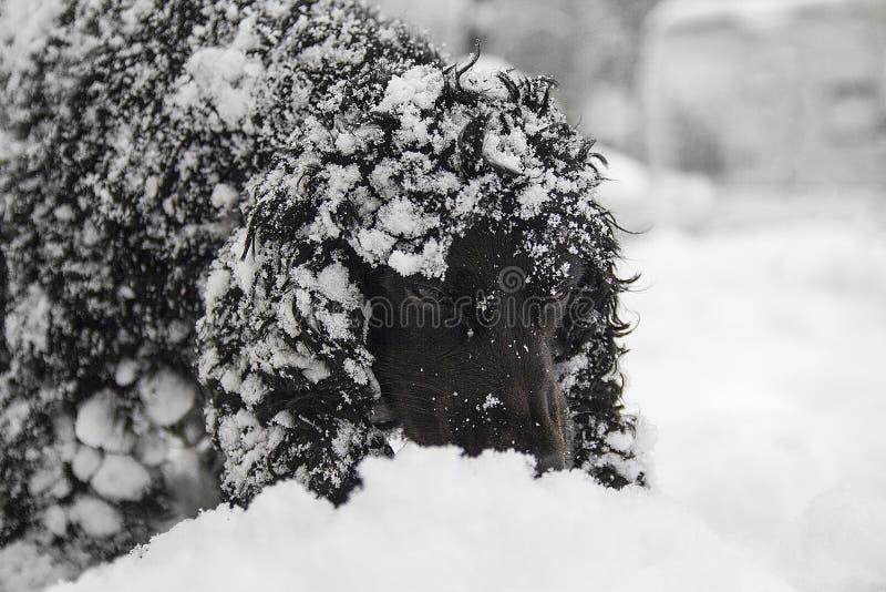 Mooie zwarte jonge cocker-spaniël, hond het spelen in de sneeuw stock fotografie