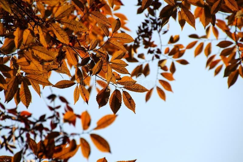 Mooiere de bladeren gloeiende rode, verzakkende gouden bladeren van de de herfstesdoorn stock fotografie