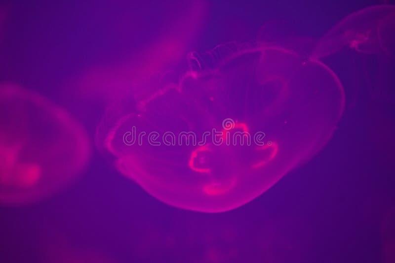 Moon as medusa que incandescem cor-de-rosa em águas azuis profundas imagens de stock royalty free