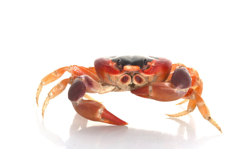 Download Moon Crab stock photo. Image of cute, animal, seafood - 7920712