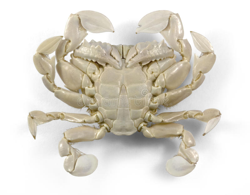 Download Moon crab in white back stock image. Image of intensity - 21757331