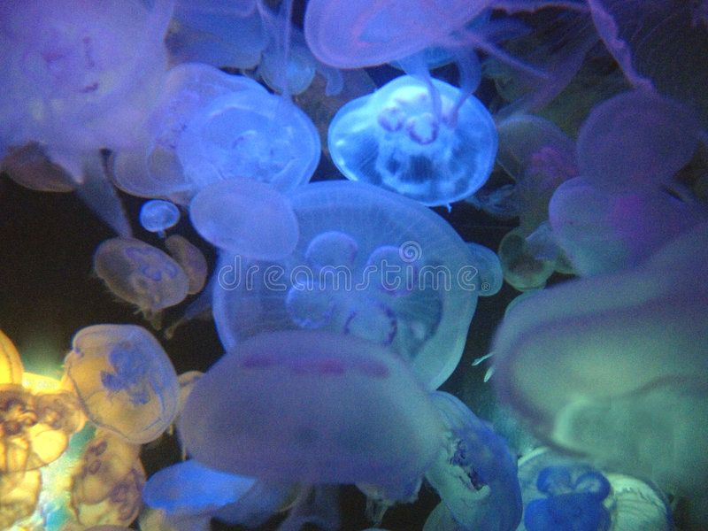 Moon jelly bloom. Off the coast of belize, a backlit moon jelly bloom is photographed during a night dive royalty free stock photos