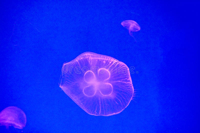 Moon jellyfish royalty free stock images