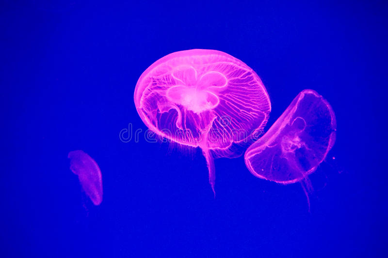 Moon jellyfish royalty free stock photo